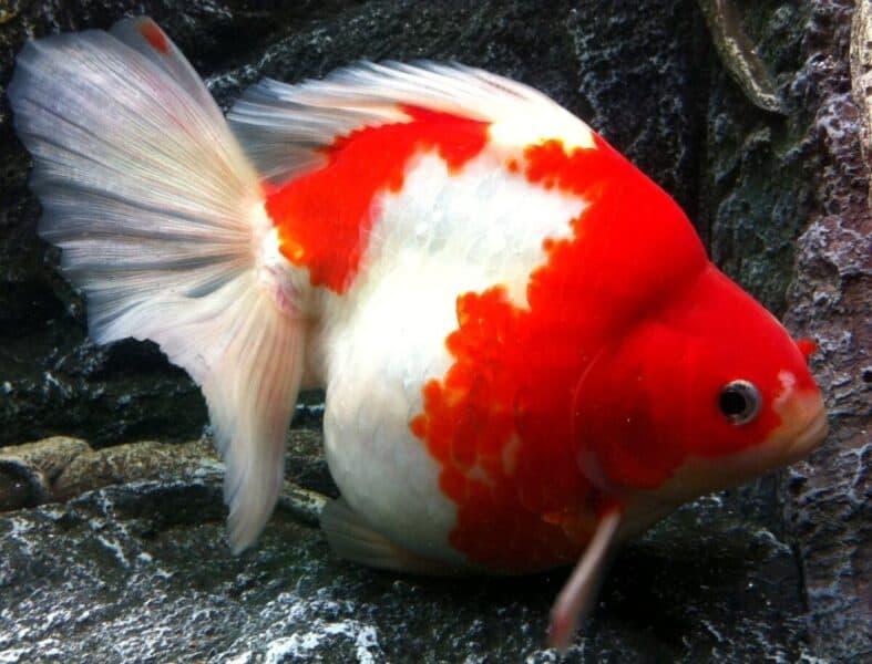ryukin rojo blanco mate