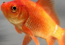 goldfish.jpg & w = 268 & zc = 1