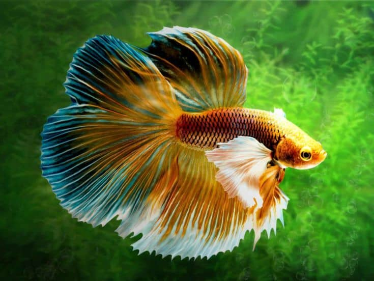 El pez luchador siamés Betta, Betta splendens Pla-kad (pez que muerde) Thai.  (Halfmoon fancy white red betta) en movimiento sobre fondo de malezas de agua dulce