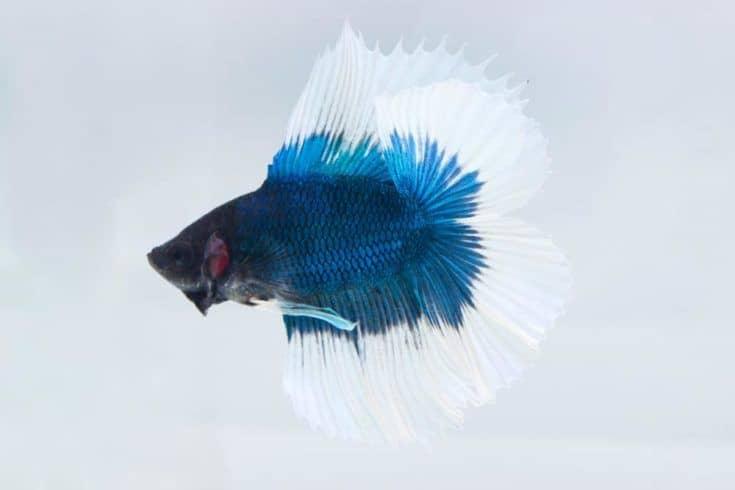 Pez Betta o pez luchador (Half Moon Double Tail) sobre fondo blanco.