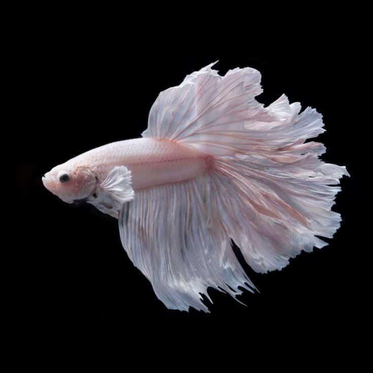 pez luchador siamés, betta aislado sobre fondo negro
