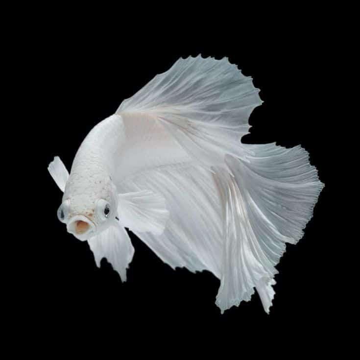 Pez betta, pez luchador siamés, betta splendens aislado sobre fondo negro