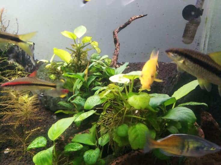 Devorador de algas doradas en un acuario con planta anubias