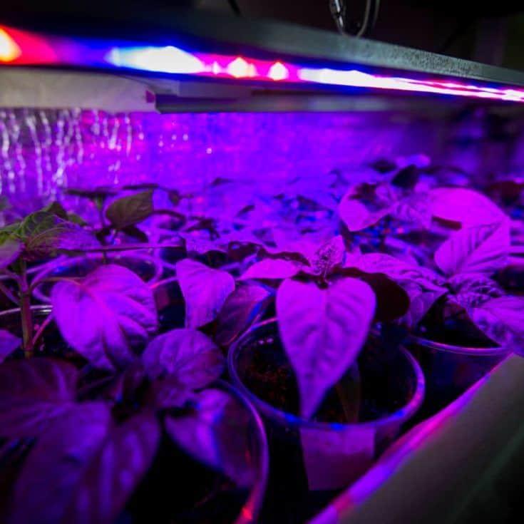 Cultivo de hierbas frescas y pimiento con leds rojos y azules.  Utilización de equipos LED especiales en salas sin luz y en invernaderos.  LEDs con una longitud de onda de 630nm, 660nm, 440nm, 445nm, 430nm, d leds azules.  La albahaca se cultiva sin luz natural, los leds proporcionan la luz que necesitan las plantas para crecer.