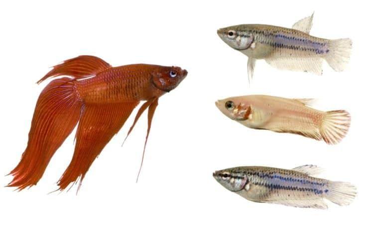 Macho y hembra de pez luchador siamés delante de un fondo blanco .