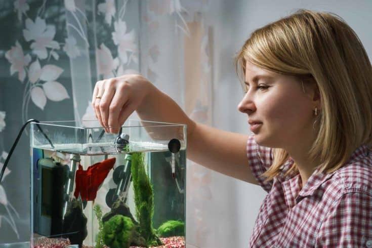 Mujer alimentando a un pez beta en un acuario en su casa.