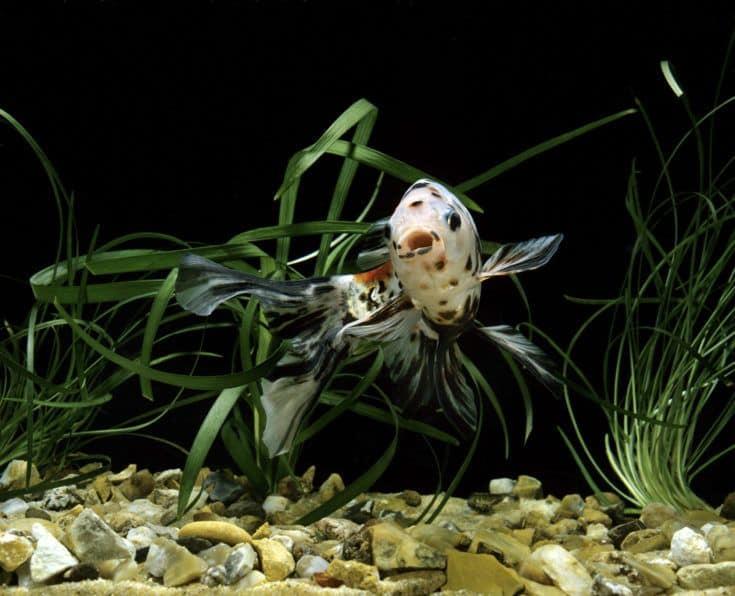 Shubunkin Goldfish, carassius auratus, peces de acuario