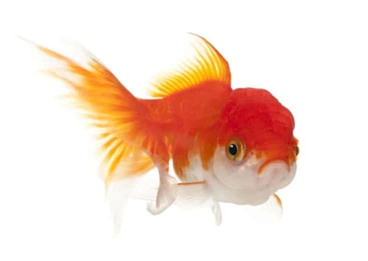 Lionhead Goldfish, Carassius auratus, delante de un fondo blanco