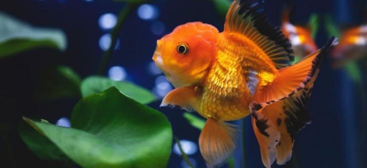 Gran pez dorado de Oranda en acuario
