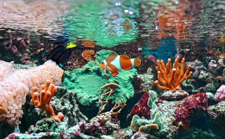 El pez marino - pez payaso Ocellaris