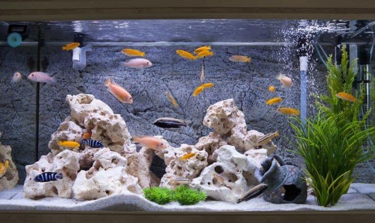 Acuario con peces cíclidos del lago malawi