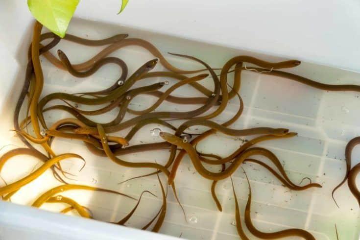 Anguilas de pantano asiáticas (Monopterus albus) para la venta en un mercado tailandés