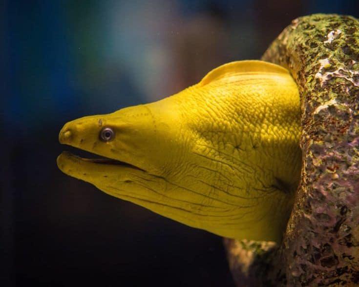 anguila amarilla