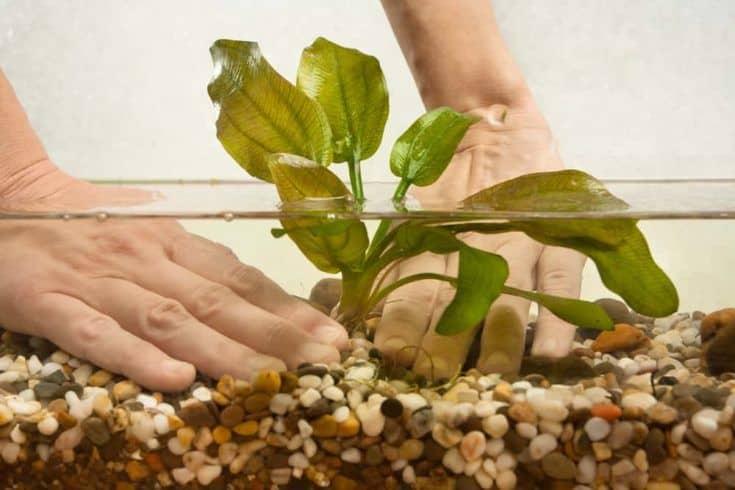 manos de acuarista plantando agua planta echinodorus en nuevo acuario