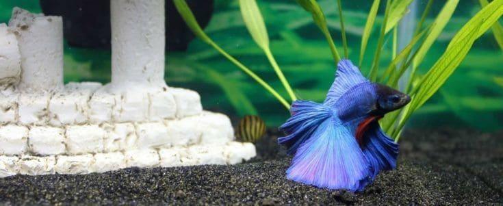 Peces betta azul dentro del acuario.