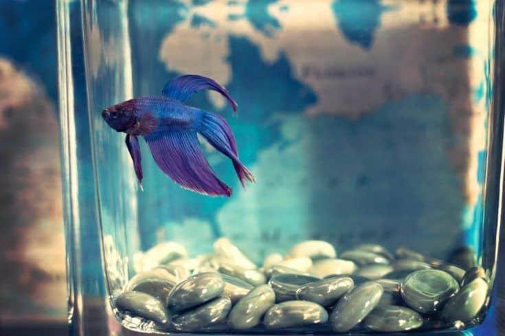 Foto de enfoque selectivo de pez betta azul en un recipiente de vidrio pequeño.