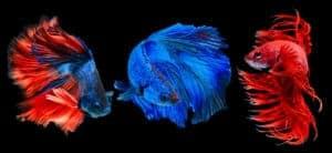 Los tipos de peces betta: una guía de colores, patrones y colas: tres peces betta sobre fondo negro.
