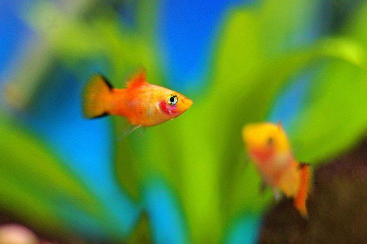 Platy Fish bajo el agua