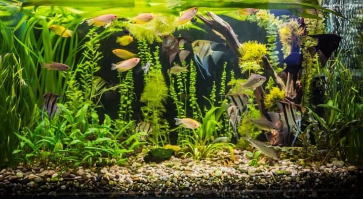 Un hermoso acuario de agua dulce tropical plantado verde con peces