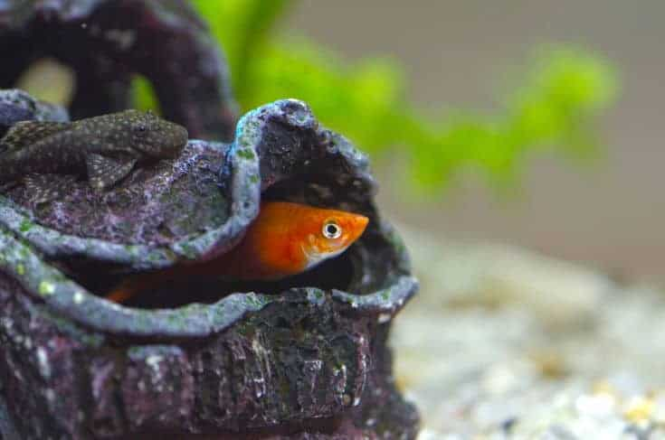Cerrar imagen de un bagre en acuario