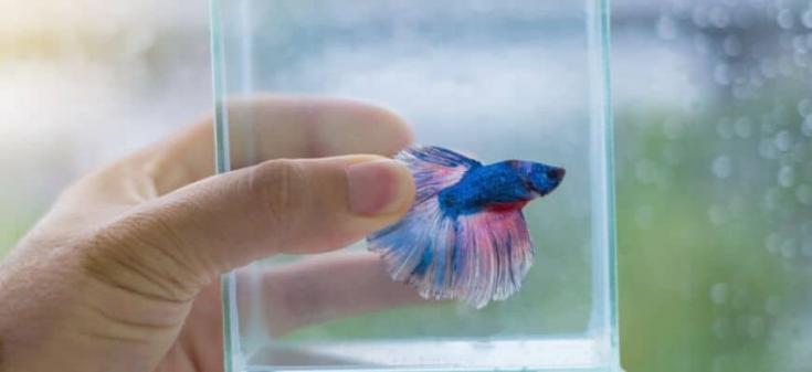 La mano del hombre sosteniendo un vaso de agua con peces betta dentro: ¿Duermen los peces Betta: dónde, cuándo y durante cuánto