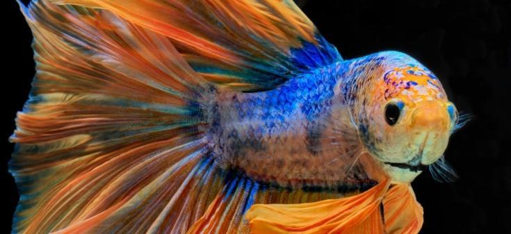 Guía para principiantes de peces Betta: datos, consejos y recomendaciones para una configuración saludable de peces Betta: peces Betta en fondo negro.