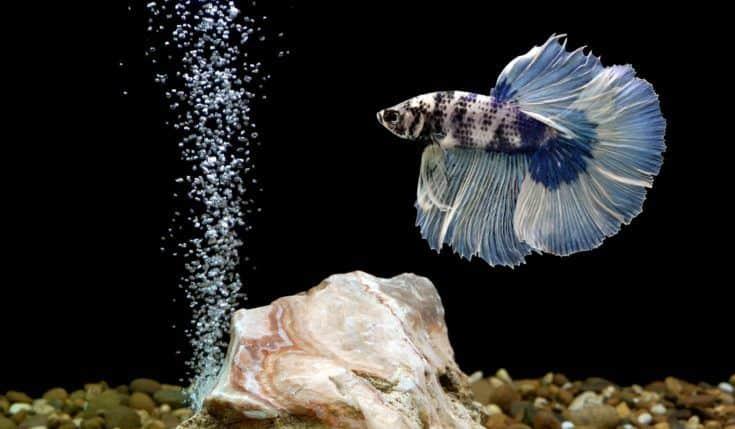 pez betta, pez luchador siamés en el acuario