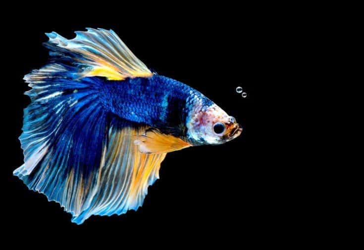 Colorido con el color principal del pez betta azul, el pez luchador siamés estaba aislado sobre fondo negro.