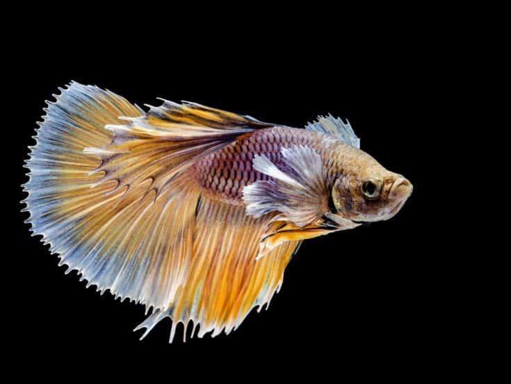 Hermoso pez luchador siamés sobre fondo negro