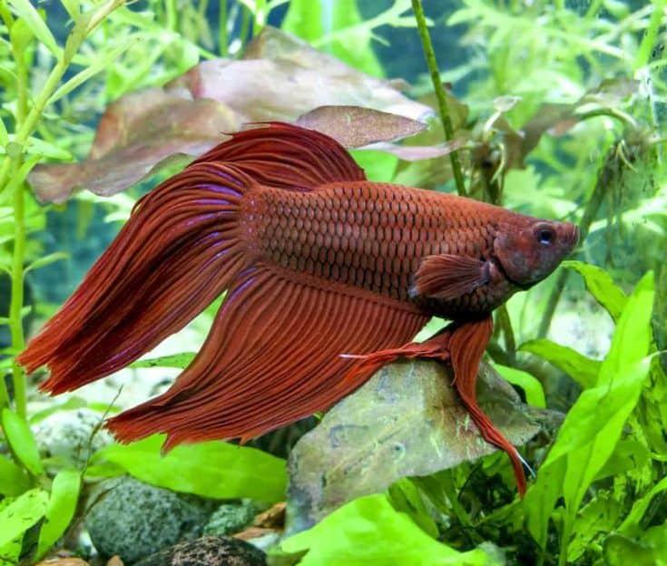 Red Veiltail mail Beta o pez luchador siamés en tanque plantado