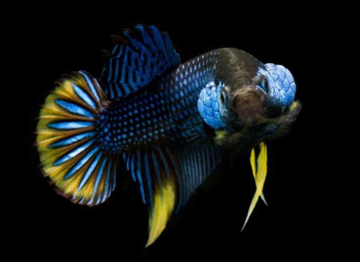 Betta splendens de naturaleza salvaje o pez luchador siamés salvaje con fondo negro.