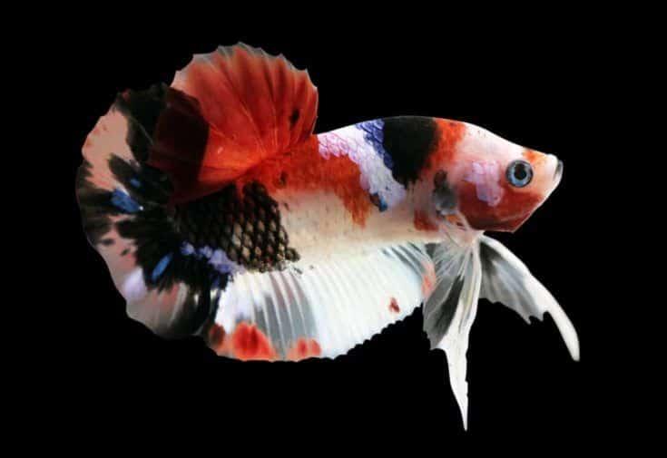 Betta Koi Halfmoon Plakat HMPK macho o pez luchador Plakat Splendens sobre fondo negro.