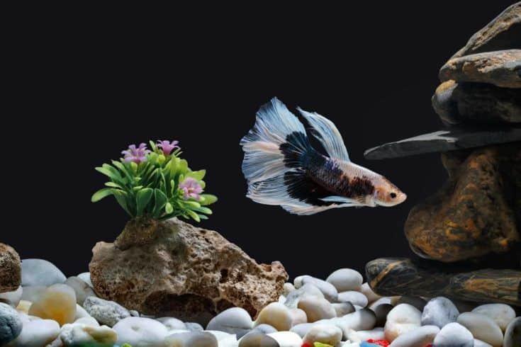 Lucha contra los peces, peces siameses, en una pecera decorada con guijarros y árboles, fondo negro.