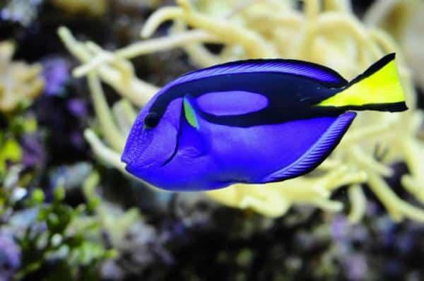 """Colorido Dori de """"Buscando a Nemo"""" nadando a través de un arrecife de coral"""