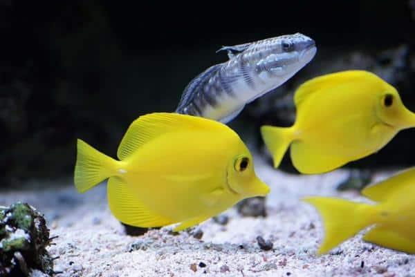 Tang amarillo