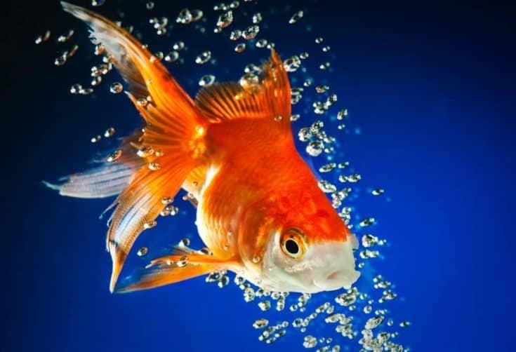 peces de colores en agua azul oscuro ...