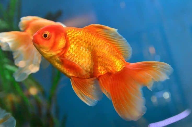 Pez dorado, pez dorado en acuario