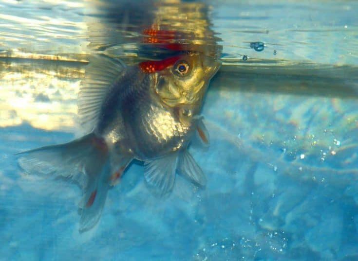 Ryukin goldfish soplando burbujas en la parte superior del agua.