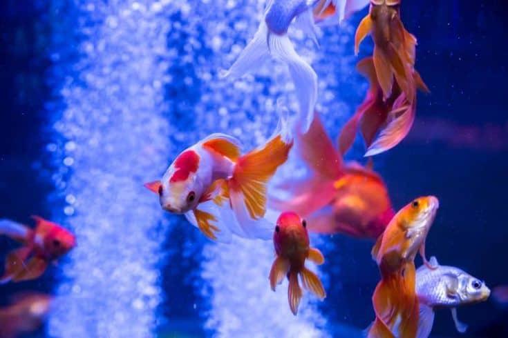 Peces de colores tropicales y de acuario en agua azul.  Hermoso fondo del mundo submarino
