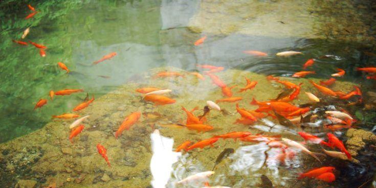 Pequeños peces naranjas en el pequeño estanque artificial - efecto vintage.  Peces de acuario rojos y dorados nadando en el estanque - filtro retro.  Estanque artificial con peces de colores para relajarse - foto en tonos.