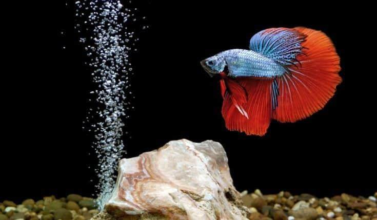 pez Betta, pez luchador siamés en acuario