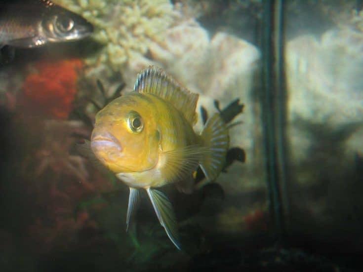 Enfoque de disparo de peces cíclidos Kenyi amarillos.