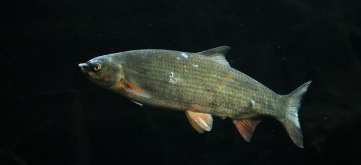 Mostrando signos de mancha blanca en el cuerpo del pez.