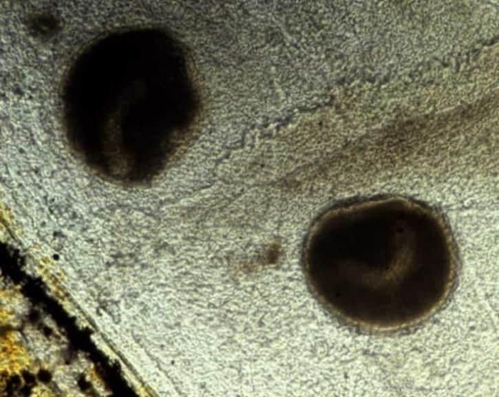 Trofontos de Ichthyophthirius multifiliis