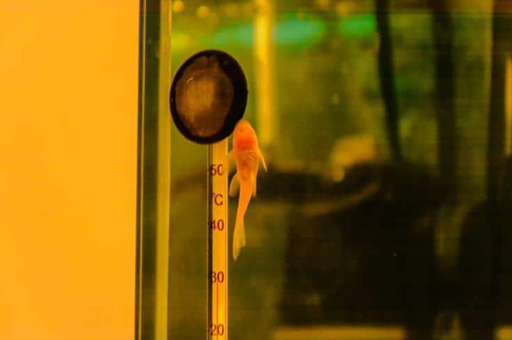 Un pequeño ancistrus de bagre pegado al cristal del acuario cerca del termómetro
