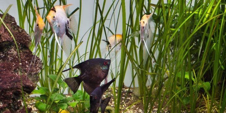 Vallis de hoja recta y peces dentro del acuario.