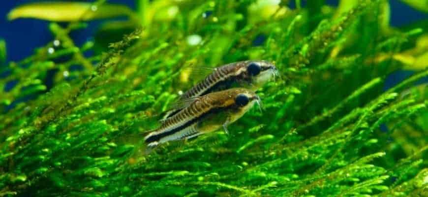 2 peces nadando en un tanque con plantas verdes.