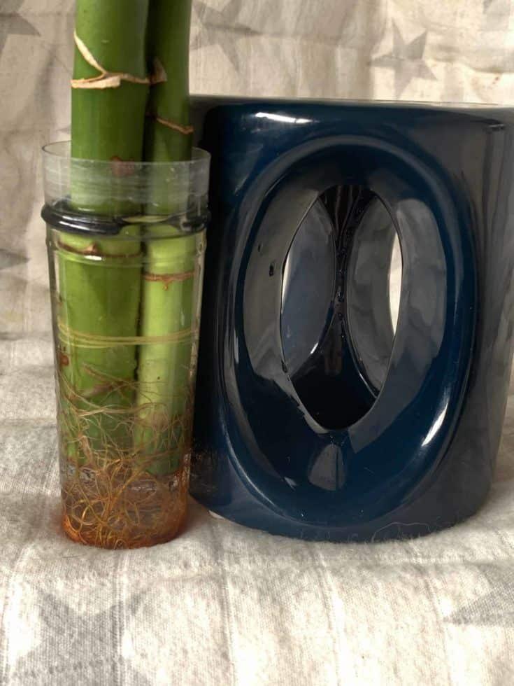 Primer plano de bambú de la suerte con sus raíces prósperas dentro de un frasco de vidrio.