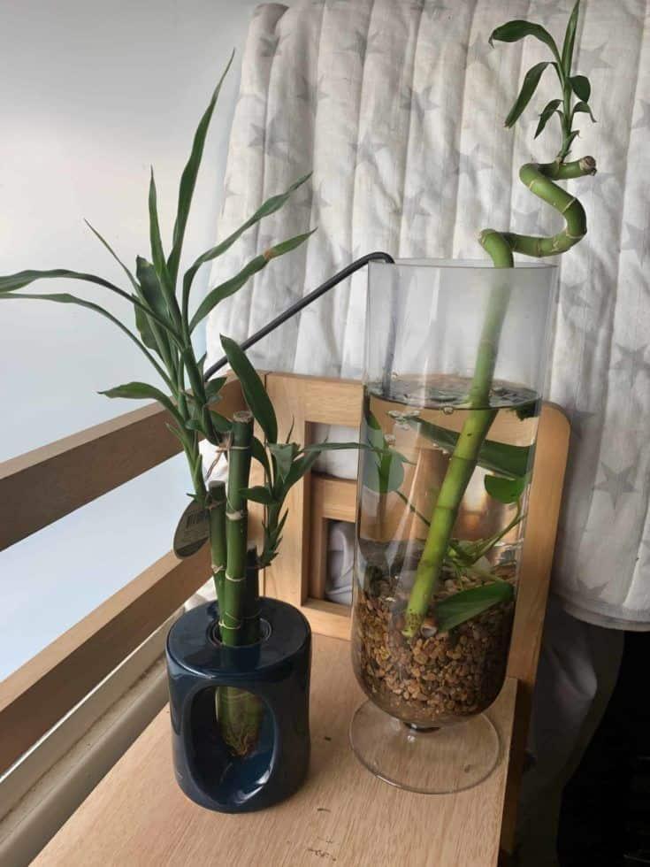 Lucky Bamboo plantado en una pecera.