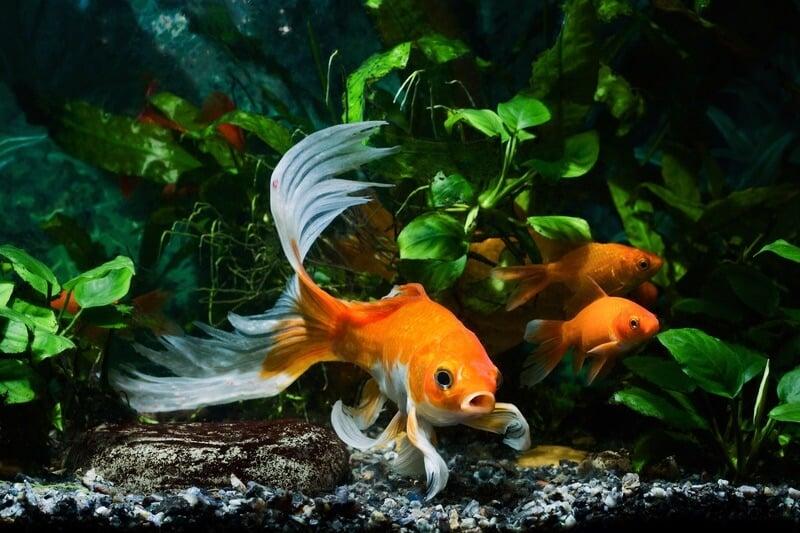 Un pez en un tanque donde no se pueden ahogar.